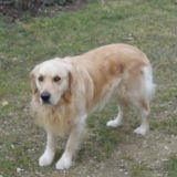 Chien Golden Retriever Bibouche