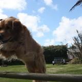 Chien Golden Retriever Jump