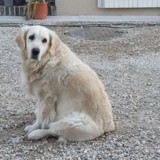 Chien Golden Retriever Gwen