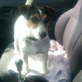 Chien Jack Russell Terrier Golem