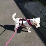 Chien Jack Russell Terrier Gomette