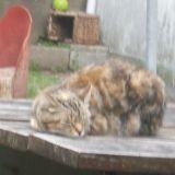 Chat Gouttière Capsule
