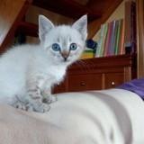Chat Gouttière Snow