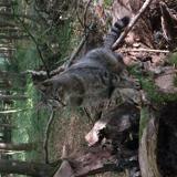 Chat Gouttière Timinou
