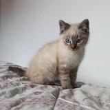 Chat Gouttière Nougat