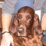 Chien Setter irlandais Great Irish Of Tradition