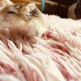 Rongeur Hamster Grigri