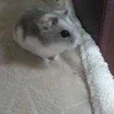 Rongeur Hamster Grisou