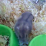 Rongeur Hamster Grisette