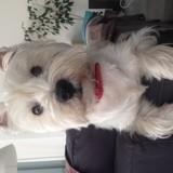 Chien West Highland White Terrier Gucci