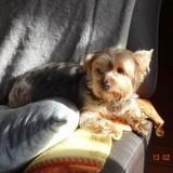 Chien Dandie Dinmont Terrier Gucci