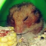 Rongeur Hamster Guizmo