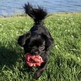 Chien Chihuahua Guizmo