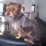 Chien Yorkshire Terrier Guyguy