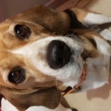 Chien Beagle Habby
