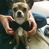 Chien Chihuahua Hades
