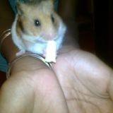Rongeur Hamster Titi