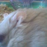 Rongeur Hamster Maritza Rip