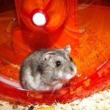 Rongeur Hamster Mirtille