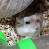 Rongeur Hamster Jerry