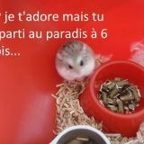 Rongeur Hamster Chouquette