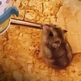 Rongeur Hamster Izi