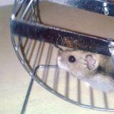 Rongeur Hamster Crominette Rip