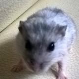 Rongeur Hamster Fleur