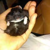 Rongeur Hamster Nounoute