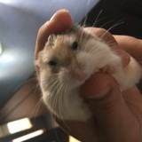 Rongeur Hamster Dyson