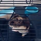 Rongeur Hamster Haribo