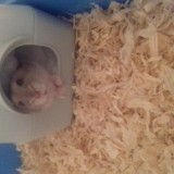 Rongeur Hamster Anna