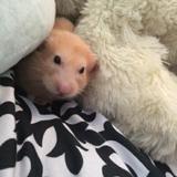 Rongeur Hamster Coco Décédé