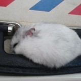 Rongeur Hamster Cocotte