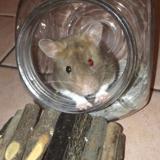 Rongeur Hamster Ganache