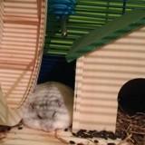 Rongeur Hamster Groot