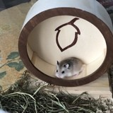 Rongeur Hamster Cachou