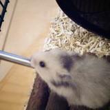 Rongeur Hamster Litchi