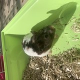 Rongeur Hamster Chanel