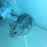 Rongeur Hamster K'Nel