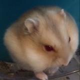 Rongeur Hamster Rubis
