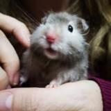 Rongeur Hamster Skippie