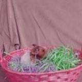 Rongeur Hamster Brownie - Décédée