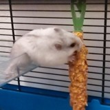 Rongeur Hamster Cocaine