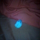 Rongeur Hamster Nuage