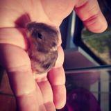 Rongeur Hamster Hamster White Bébés