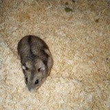 Rongeur Hamster Hamtaro