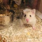 Rongeur Hamster Happy