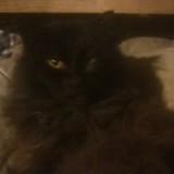 Chien American Staffordshire Terrier Haroun