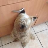 Chien Cairn Terrier Harry